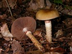 Cortinarius trivialis 
