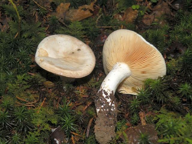 Lactarius azonites forme virgineus  (J.E. Lange) Verbeken 1998 ES - septembre 10