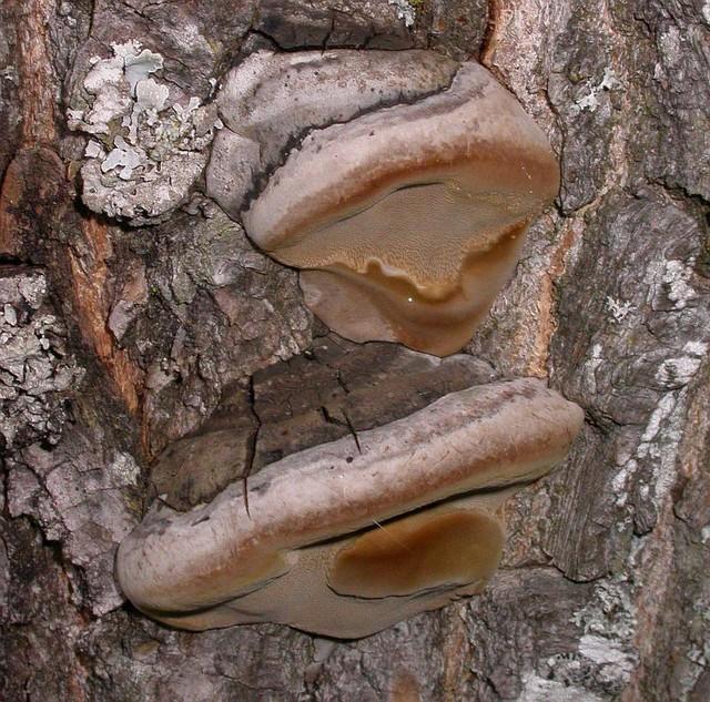 Phellinus igniarius  (L.) Quél. 1886,  photo Gilbert Bovay septembre 10
