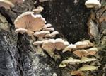 Schizophyllum commune  Fr. 1815 Sur un tronc brûlé ES - mai 10