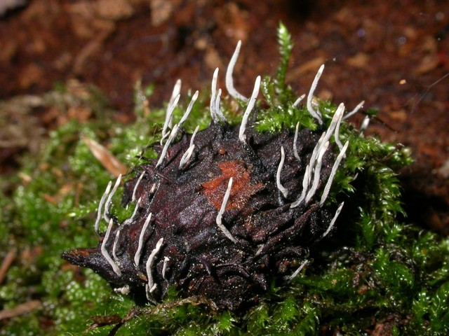 Xylaria carpophila 