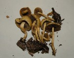 Agrocybe semiorbicularis 