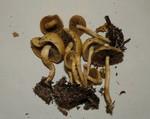 Agrocybe semiorbicularis  (Bull.) Fayod 1889 ES - juin 11