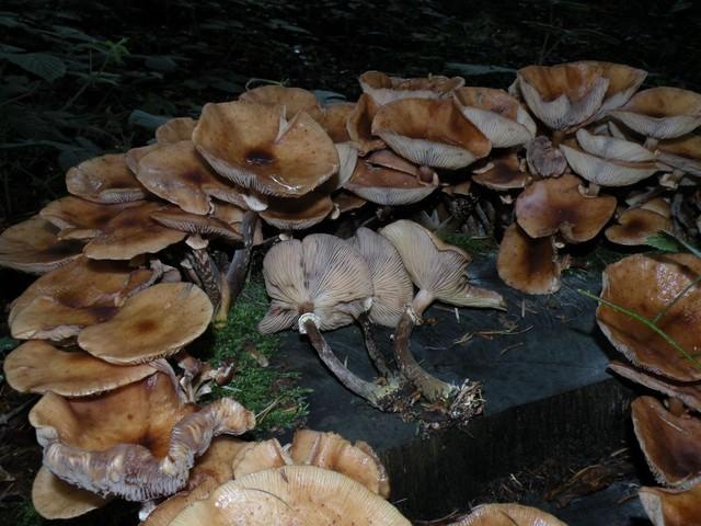 Armillaria cepistipes Velen. 1920 ES - août 11
