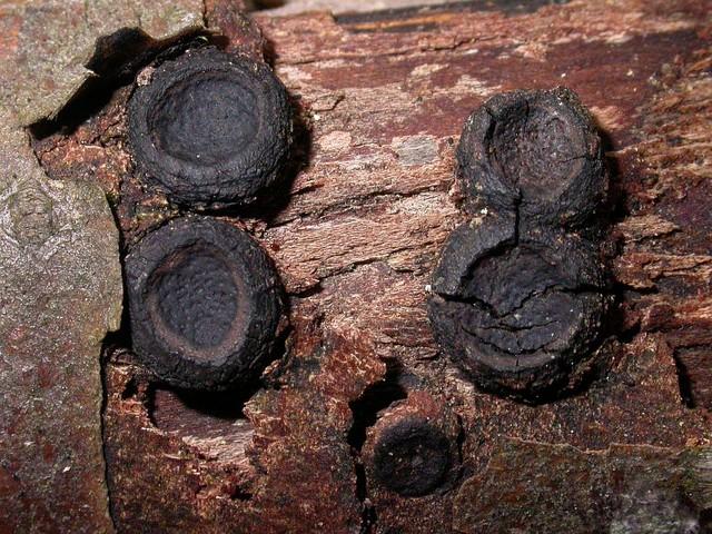 Biscogniauxia marginata  (Fr.) Pouzar 1979 photo Gilbert Bovay novembre 11