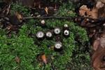 Cyathus striatus  (Huds.) Willd. 1787 ES - septembre 11