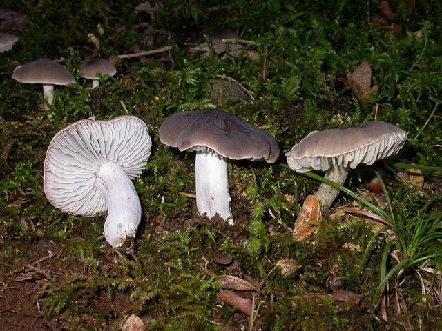 Dermoloma cuneifolium  (Fr.) Singer ex Bon 1986 (D.atrocinereum auct.) photo Gilbert Bovay octobre 11