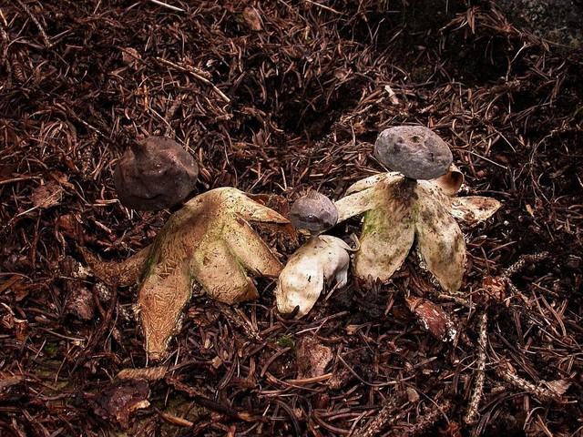 Geastrum pectinatum 