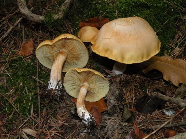 Gymnopilus stabilis  (Weinm.) Kühner & Romagn. 1985 ES - novembre 11