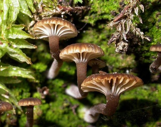 Lichenomphalia pararustica  (Clémençon) Elborne 2008 photo Gilbert Bovay août 11