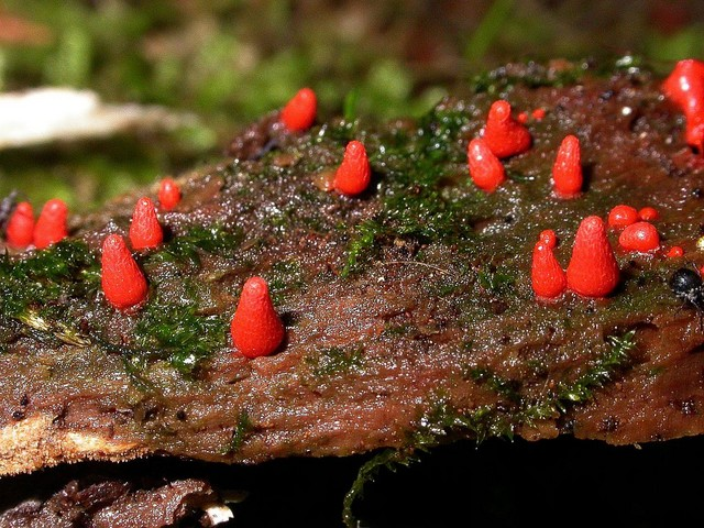 Lycogala conicum 