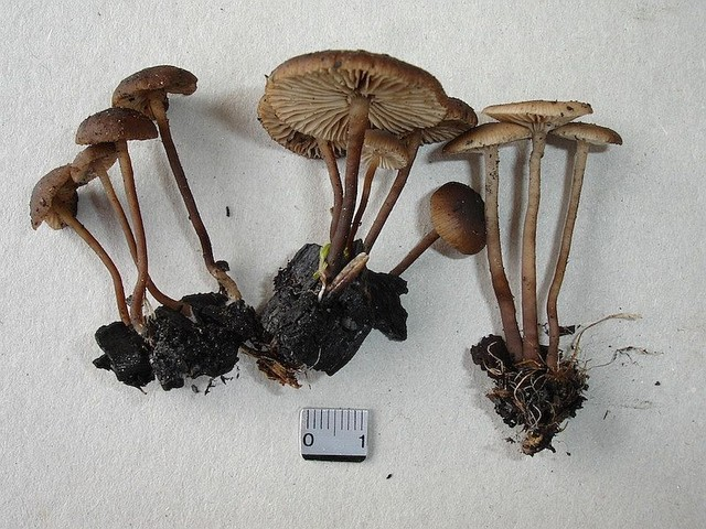 Tephrocybe ambusta 