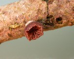 Panellus violaceofulvus  (Batsch) Singer 1936 photo Gilbert Bovay mars 11