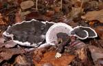 Phellodon niger  (Fr.) P. Karst. 1881 photo Gilbert Bovay octobre 11