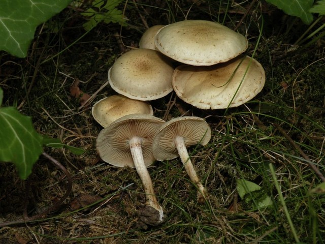 Pholiota gummosa  (Lasch) Singer 1951 ES - août 11