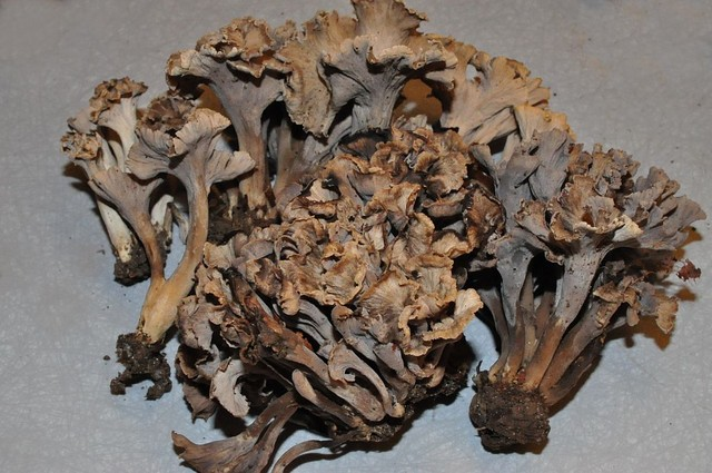 Pseudocraterellus undulatus  (Pers.) Rauschert (P. sinuosus auct.) ES - octobre 11