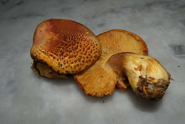 Tricholomopsis rutilans  var. variegata  (Scop.) Bon 1984 ES - août 11
