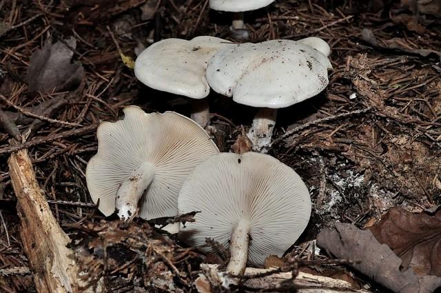 Clitocybe candicans (Pers.) P. Kumm. 1871 ES - octobre 12