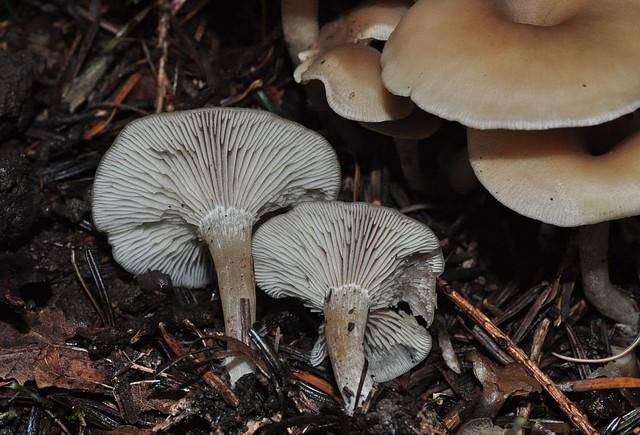Clitocybe subspadicea  (J.E. Lange) Bon & Chevassut 1973 ES - octobre 12