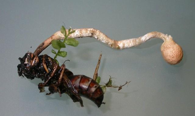 Cordyceps sphecocephala  (Klotzsch ex Berk.) Berk. & M.A. Curtis 1868 Photo Bernard Desponds juin 12
