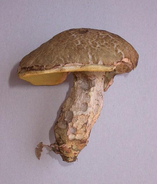Leccinellum crocipodium  (Letell.) Bresinsky & Manfr. Binder 2003 photo Gilbert Bovay septembre 12