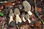 Morchella esculenta  (L.) Pers. 1801 ES - mai 12