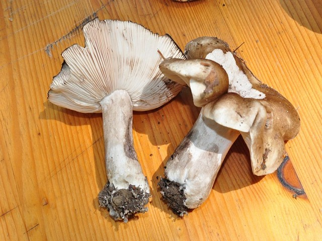 Russula albonigra 