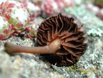 Entoloma rusticoides (Gill.) Noordel. mai 01