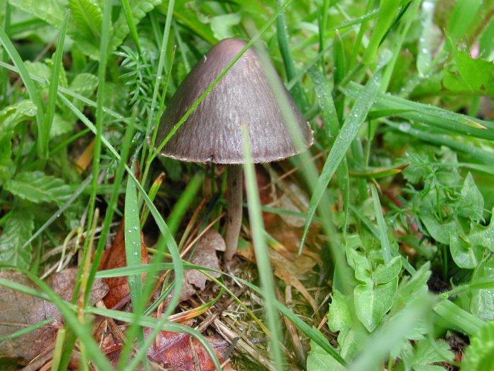 Panaeolus papilionaceus (Bull.: Fr.) Quél. mai 01