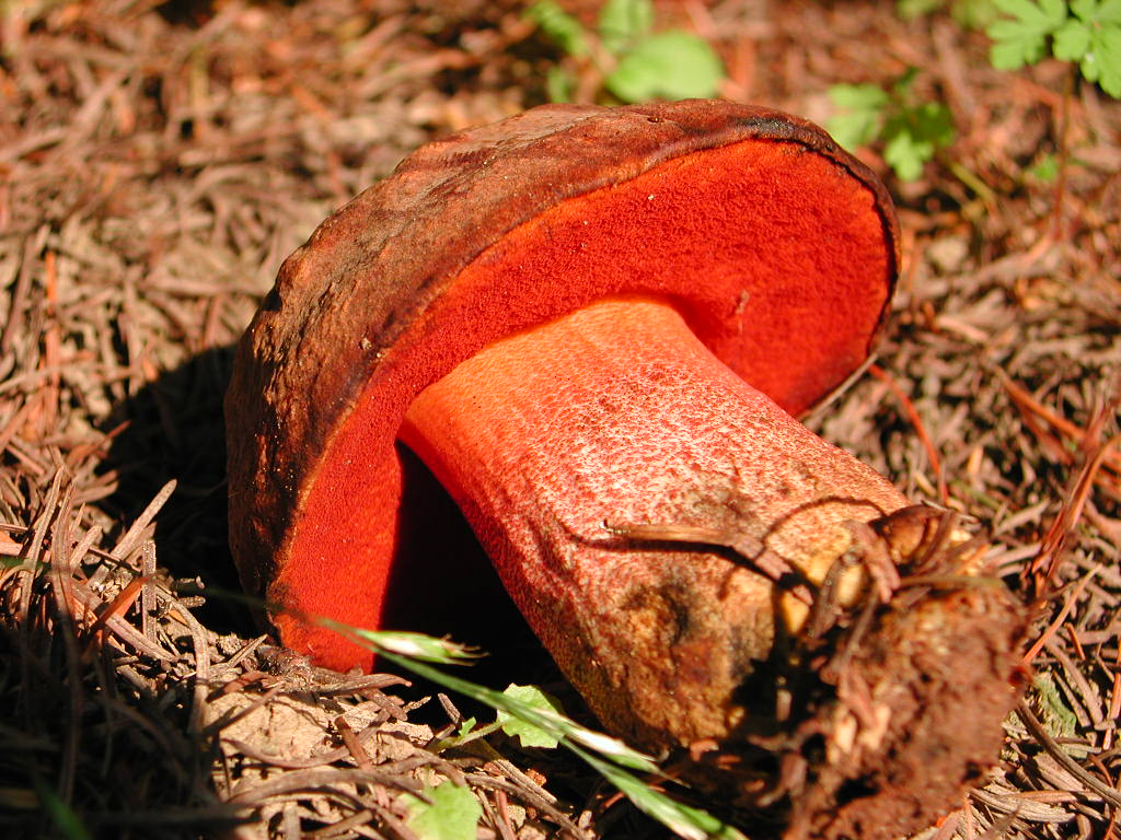 Boletus erythropus