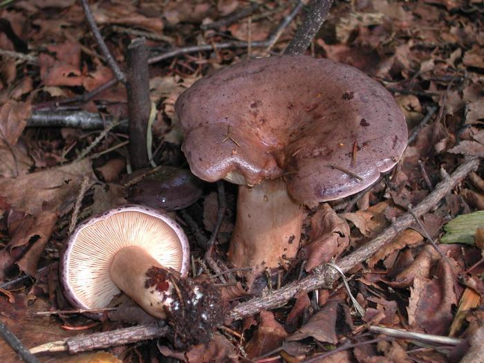 Lactarius blennius (Fr.: Fr.) Fr. août 01