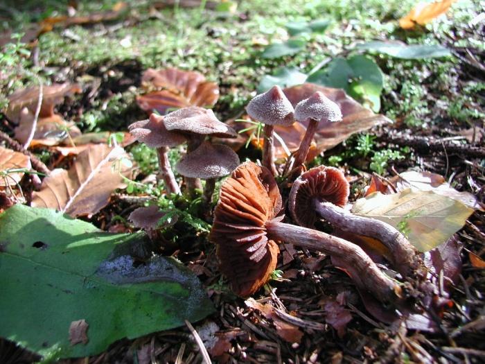 Cortinarius paleaceus (Weinm.) Fr. octobre 01