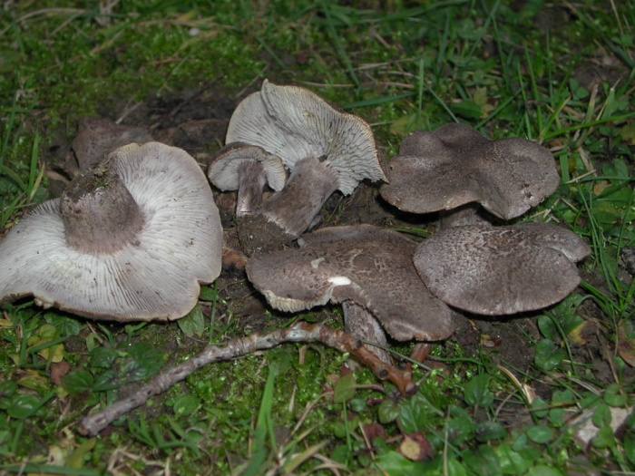 Tricholoma squarrulosum