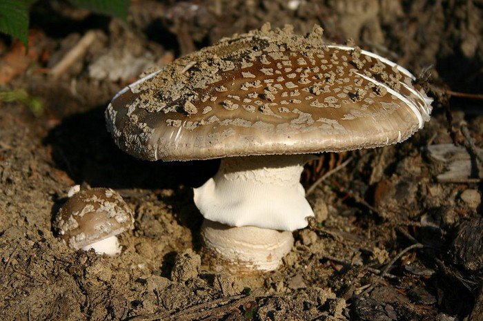 Amanita excelsa