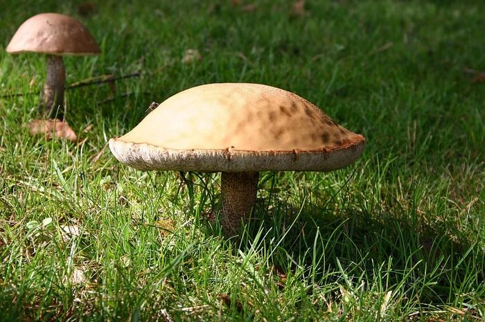 Leccinum versipelle  (Fr.)  Snell photo Christian Decrausaz août 04