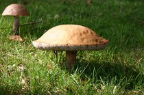 Leccinum versipelle  (Fr.)  Snell