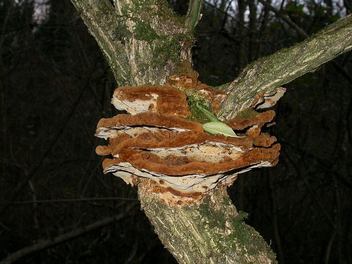 Phellinus ribis