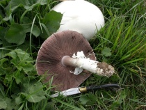 Agaricus campestris