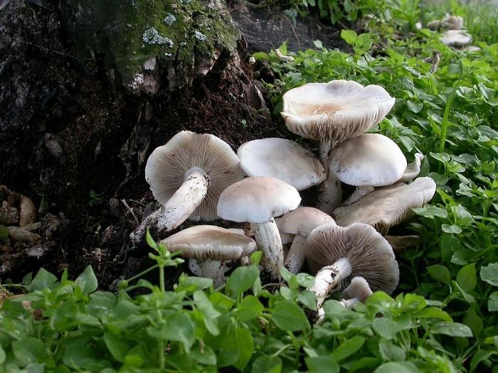 Agrocybe aegerita  (Brig.) Fayod (cylindracea auct.) août 04