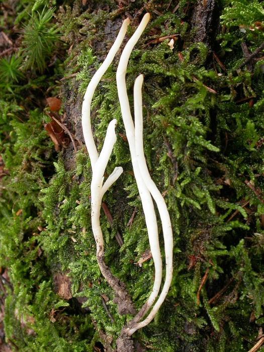 Clavaria vermicularis   Fr. novembre 03