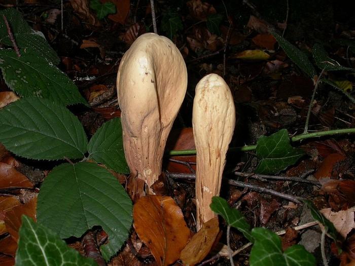 Clavariadelphus pistillaris (L.: Fr.) Donk octobre 04