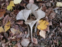 Clitocybe concava