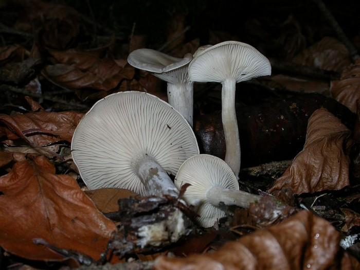 Clitocybe metachroa (Fr.: Fr.) Kumm. novembre 04