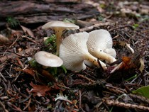 Clitocybe phaeophtalma