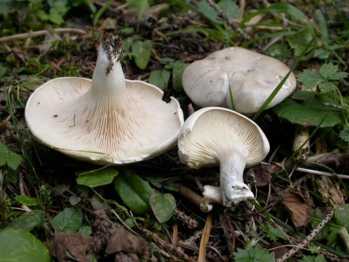 Clitopilus prunulus (Scop.:Fr.) Kumm. août 03