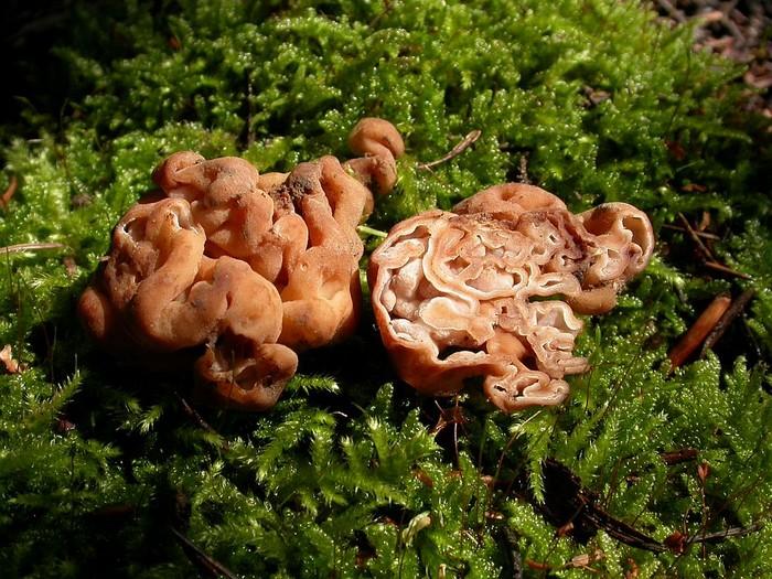 Hydnotria cerebriformis septembre 04
