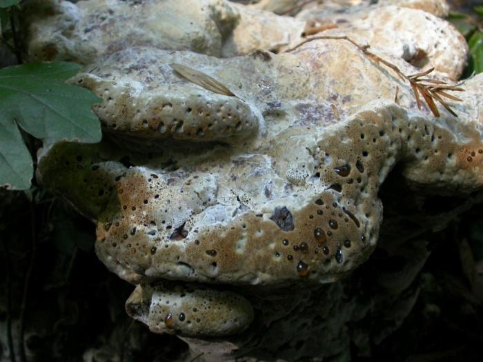 Inonotus dryadeus (Pers. : Fr.) Murr. juillet 03