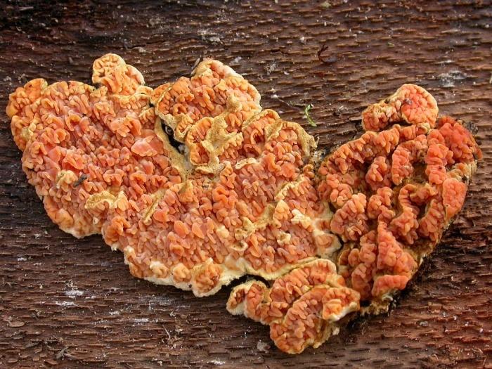 Leucogyrophana pseudomollusca (Parm.) Parm. décembre 03