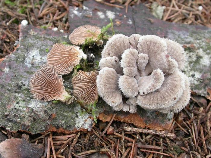 Schizophyllum commune  L.: Fr. novembre 03