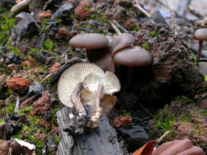 Tephrocybe ambusta (Fr.) Donk. octobre 04